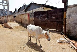 Kerala cow slaughter row AICC secretary announces Rs 1 lakh reward for...