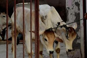 Cattle trade ban: Govt says no decision on excluding buffaloes as...