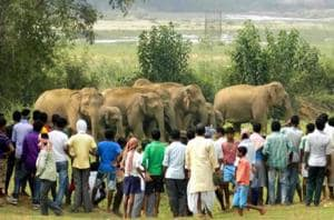 Villagers surround a herd of wild elephants that strayed into Sonahatu village under Bundu block in Ranchi district in June 2015.