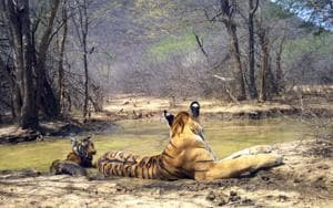Tigress T 69 with her new cub sighted for the first time  in  the Ranthambore Tiger Reserve.