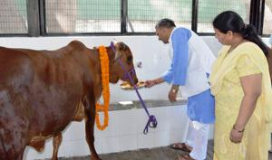 Chief minister Trivendra Singh Rawat feeds a cow jaggery and gram at his official residence in Dehradun.