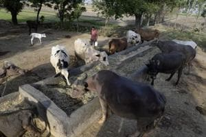 Cattle trade rules