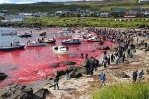 Mass slaughter of whales in Faroe Islands turns sea red, stirs animal...