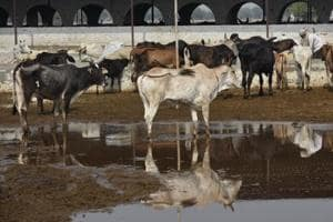 No space in cow shelters, stray cattle problem may worsen in Delhi