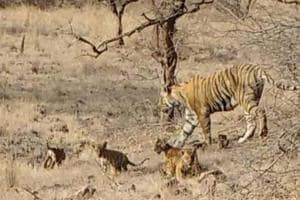 Tigress T-19 with her four cubs near Lakada area of Zone 4 of the reserve in Sawai Madhopur district.