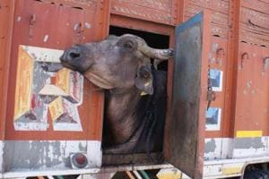 4 held in UP for allegedly slaughtering buffaloes