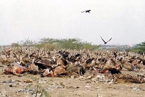 Lack of food, change in weather make vultures leave Jodhpur