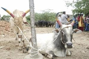Fear, gloom and loathing: Inside one of Tamil Nadu's weekly cattle...