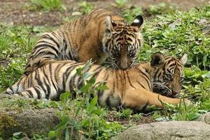 A couple of tigers get comfortable  in Sariska.