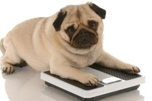 No petty matter: One in three pets is overweight or obese, finds study