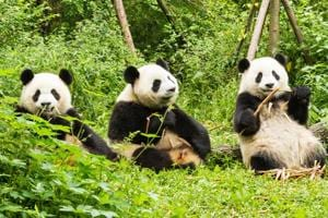 There's more to pandas than cute looks. They are helping us fight...