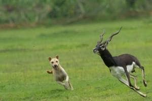 A free-ranging dog chases a blackbuck  at the Vetnai sanctuary in Odisha. A growing population of stray dogs across rural India means packs often wander into protected areas, threatening the animals there.