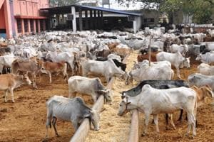 Modi warns gau rakshaks but cow protectors flourished in Gujarat with...