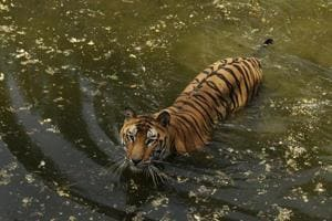 A tiger at the National Zoological Park in Delhi.