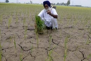 A distraught farmer in a starved paddy field at Mandi village, Patiala, on Sunday.