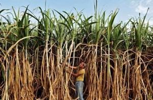 Maharashtra is the largest sugar producing state in the country, with farmers relying on this cash crop to bring in assured dividends.