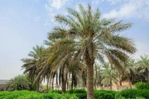 Date palm wine will be made from the Barhi variety of date in Rajasthan.