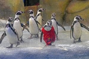 IN PICS: Mumbai zoo's Mr.Molt turns 2, here's how the penguins...