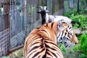 Bizarre! Tiger and goat live together in Russia safari park | Watch
