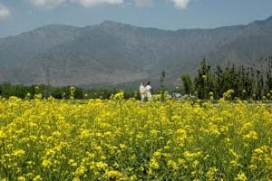 Tell us all about GM mustard: Supreme Court to Centre