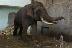 Delhi's all domestic elephants may be shifted to a sanctuary