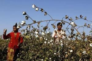Bathinda agriculture development officer Baljinder Singh said the department had started a weed-eradication programme in February as weeds are foster home for whitefly.