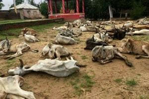 Heavy rain kills 700 cows in Rajasthan's Jalore