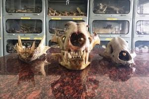 Since 2015, IVRI has preserved skeletons of animals including horse, lion and crocodile.