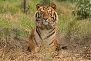 Tiger numbers swell but threat to the big cat remains