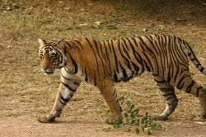 Uttarakhand tiger count up by 60 in three years, may pip Karnataka