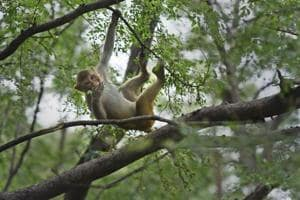 Authorities started relocating monkeys from the city areas to the fringes of Delhi.