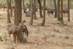 Sambars at Kalimati deer park in Khunti