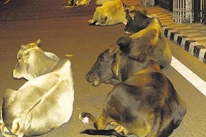 Thousands of cows and bulls in Haryana have made the roads their home, disrupting free flow of traffic.