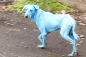 One of the 'blue dogs' in Mumbai suburb goes blind, SPCA to treat it,...