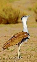 Funds for bustard conservation embezzled, allege EDC members