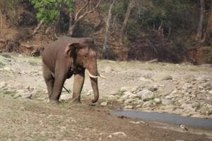 A file photo of an elephant inside Rajaji Tiger Reserve. In Odisha, the elephant had strayed out from a herd near Mandiakudar village of Kuanramunda forest range in Rourkela.