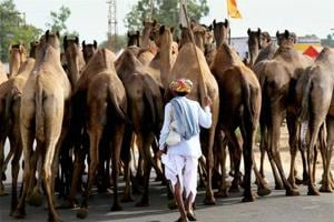 Bakrid: Camel sacrifice banned in Lucknow, police to keep an eye on...