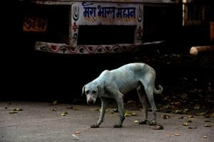 Mumbai's blue dogs: Pollution board shuts down dye industry after HT...