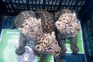 25 lost leopard cubs from reunited with their mothers in Maharashtra