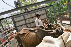 340 bovines including cows rescued in Nagpur