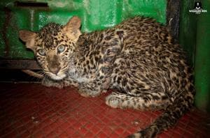 Leopard cub rescued from 60-ft well after 7-hr rescue operation