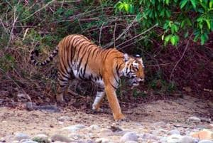 Palamau is only one in a long list of tiger habitats across India where development projects have got the governments' nod.