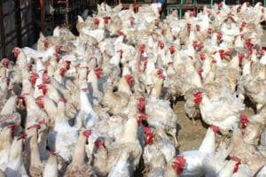 Poor waste management in poultry farms  where chickens are regularly injected  with antibiotics is leading to the growth of antibiotic resistant bacteria in the soil in agricultural fields.