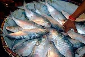 Hilsa is traditionally associated with Bengalis who are the original residents of Bangladesh, who constitute the traditional support base of East Bengal club.