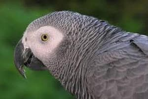 London parrot does online shopping by mimicking owner