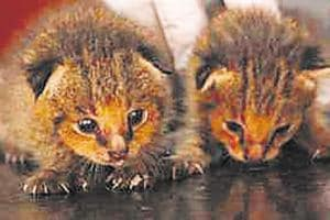 Mumbai rain: Two famished jungle kittens rescued from a dry spot in...