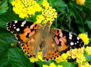 The sighting of butterfly species like Painted Lady (above) was among the highlights of the drive.