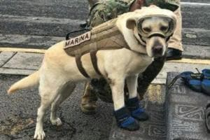 Meet Frida, the labrador who has saved 52 lives after Mexico...