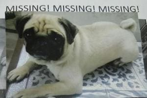 Pug 'kidnapped' from north Delhi, owners announce reward of Rs 5,000