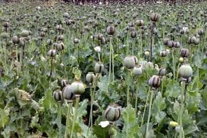File picture of poppy cultivation.  Under the Narcotic Drugs and Psychotropic Substances Act, the Central Government is empowered to permit and regulate cultivation of opium poppy for medical and scientific purposes but most cultivation are illegal.